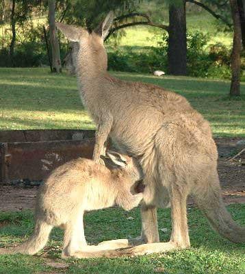 kangourou-et-petit-faches